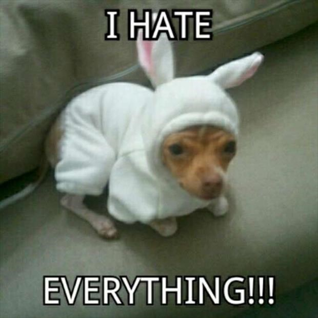Chihuahua wearing a bunny outfit with caption that he hates everything.