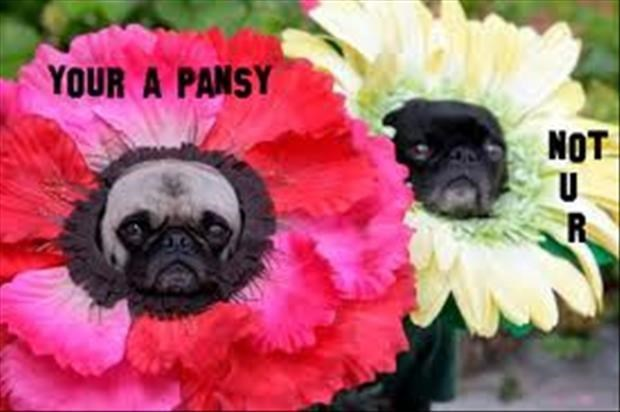 Pugs wearing pansy hats with a your you're exchange going on.