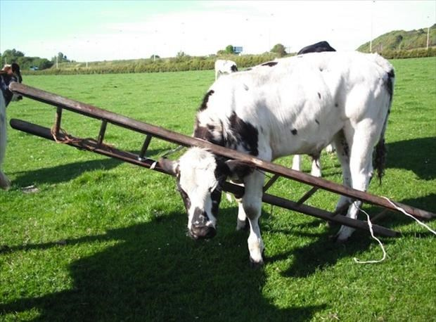 Holstein cow wearing a ladder around his neck that she must have gotten it stuck in.
