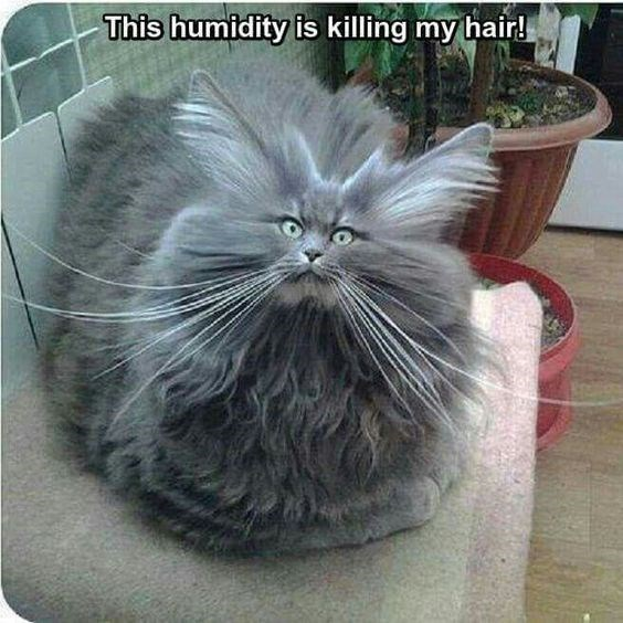 Cat meme of very fluffy cat on the couch joking that the humidity does this to his hair.