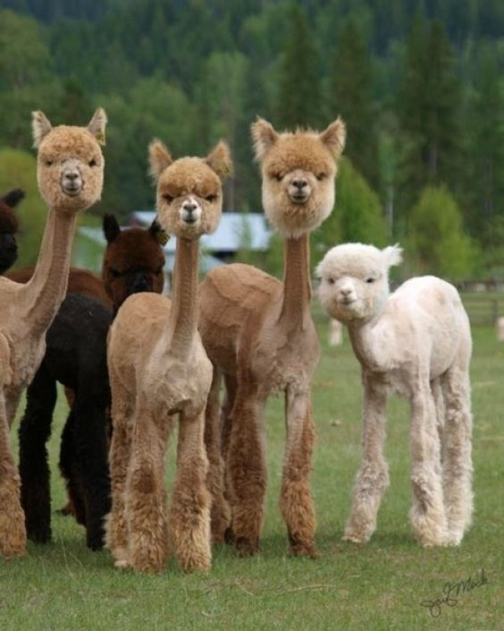 Shaved alpacas of various colors in a green field near a forest.