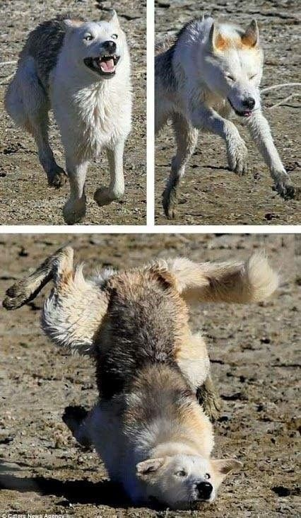 Wolf like dog running in excitement and then trips and face plants.