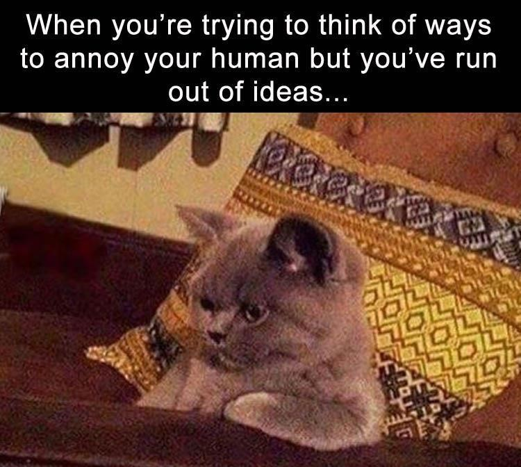 Cat meme of cat trying to figure out a new way to annoy human, and in deep thought about the topic.