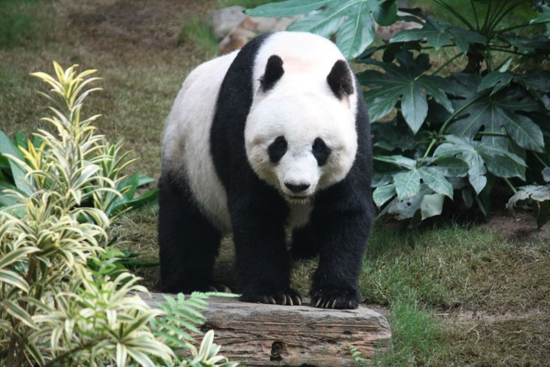 large male panda