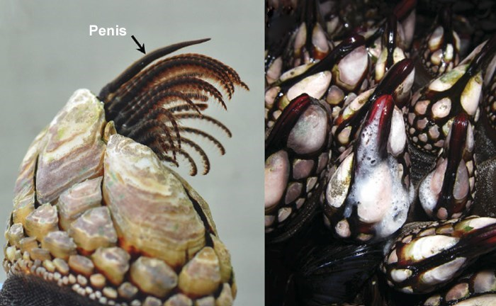 Barnacles with a clear arrow showing where the penis is.