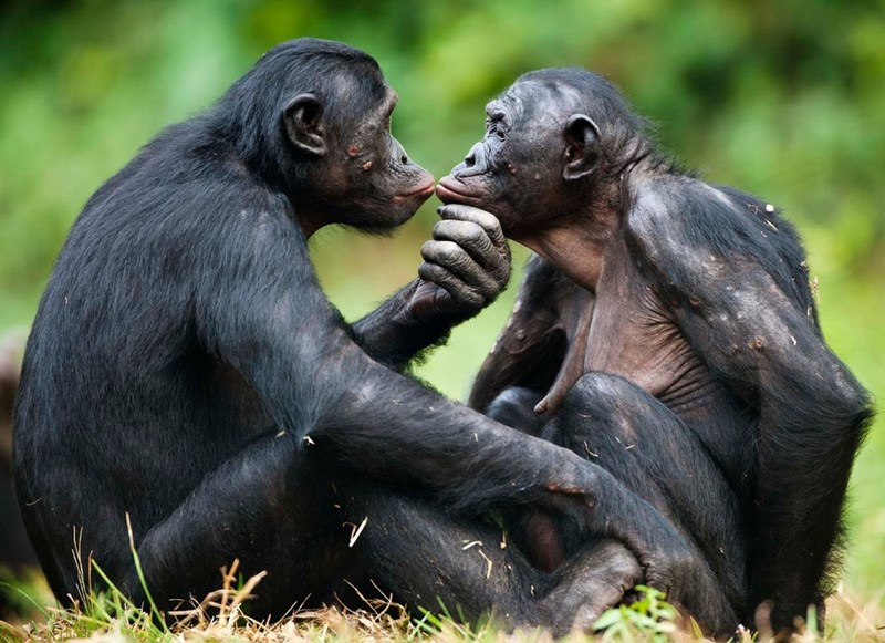 Bonobos kissing and being affectionate to each other.