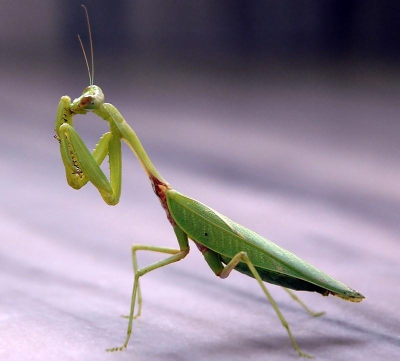 Praying mantis cleaning his mouth.