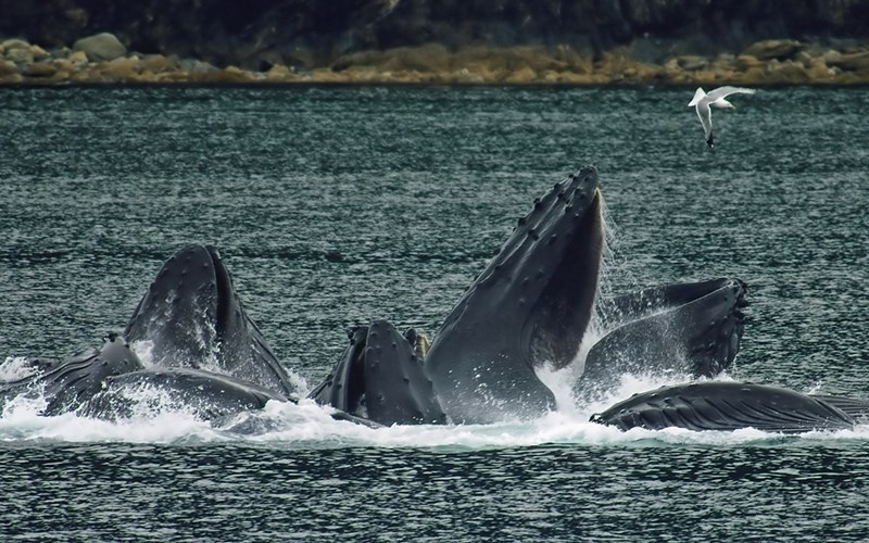 Humpback whales frolicking in the sea.