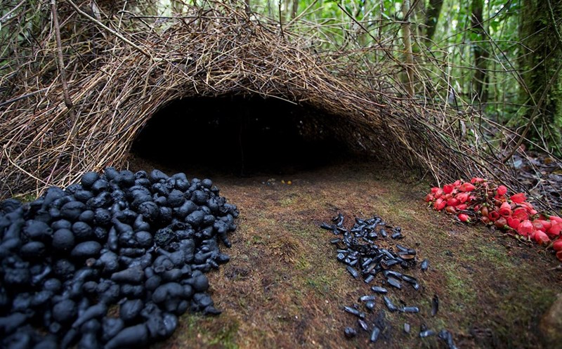 nest of a male bowerbird