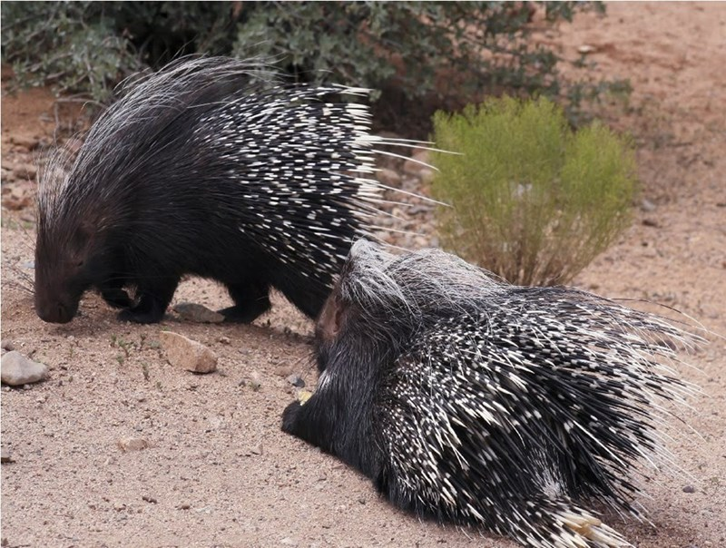 porcupines couple in the wild