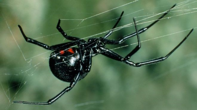 Black widow spider on her web.