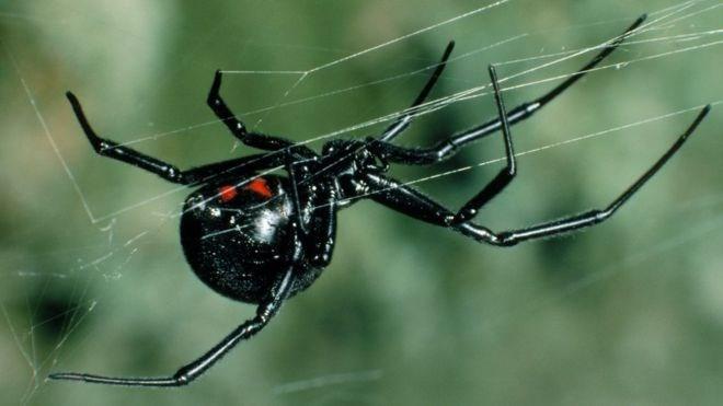 Black widow spider on her web.