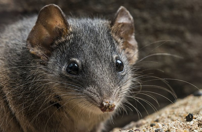 Antechinus mouse like creature.