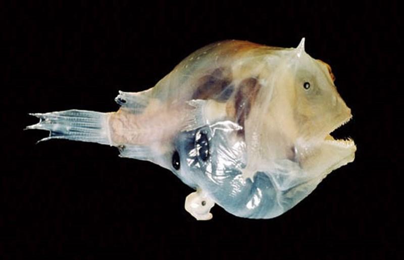 Female Anglerfish