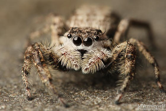 Jumping spider close up and sharp picture.