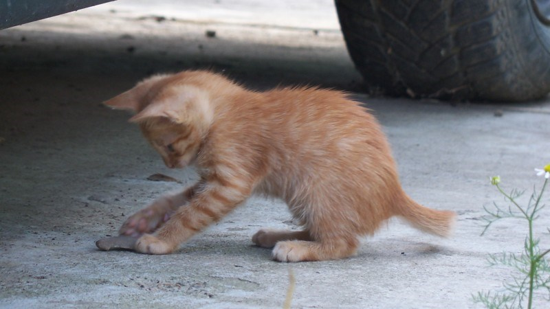 Tesla kitten playing around near the car that he was stuck in.