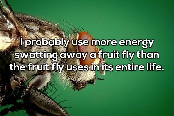 house fly - probably use more energy Swatting away a fruit fly than the fruit fly usesin its entire life.