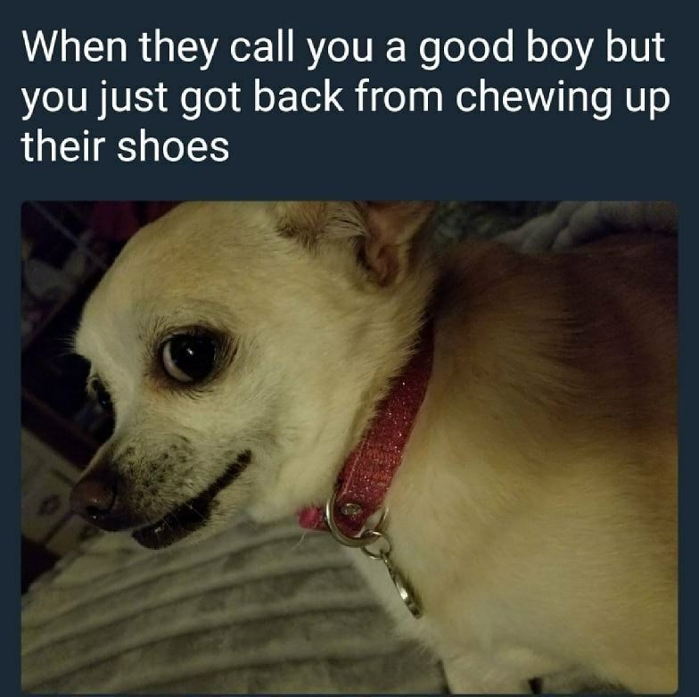 Funny meme about a a dog being called a good boy after trying to eat its owner's shoes.