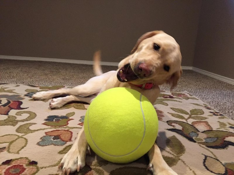 Dog happily playing with a huge new tennis ball