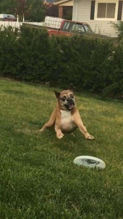 dog chasing a Frisbee in a nice green yard.