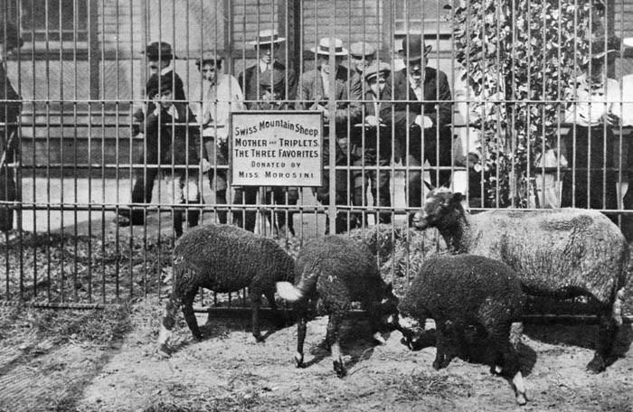 vintage animal pics - Bovine - Swiss Mountain MOTHER TRIPLETS THE THREE FAVORITES Sheep DONATED BY MISS MOROSINI