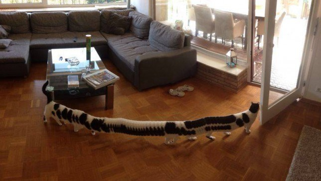 stretched out cat as he walks across the wooden floors when a panoramic shot is being taken.