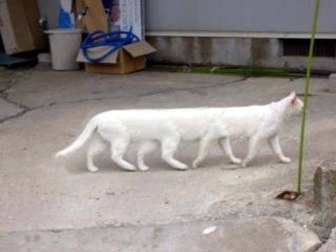 Cat centipede caused by moving panoramic camera as cat casually walked across the floor
