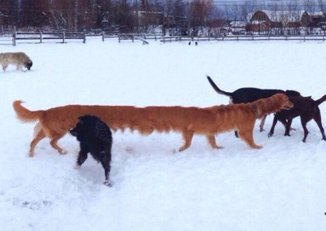 dog gets stretched out in panoramic picture of dogs playing in the snow