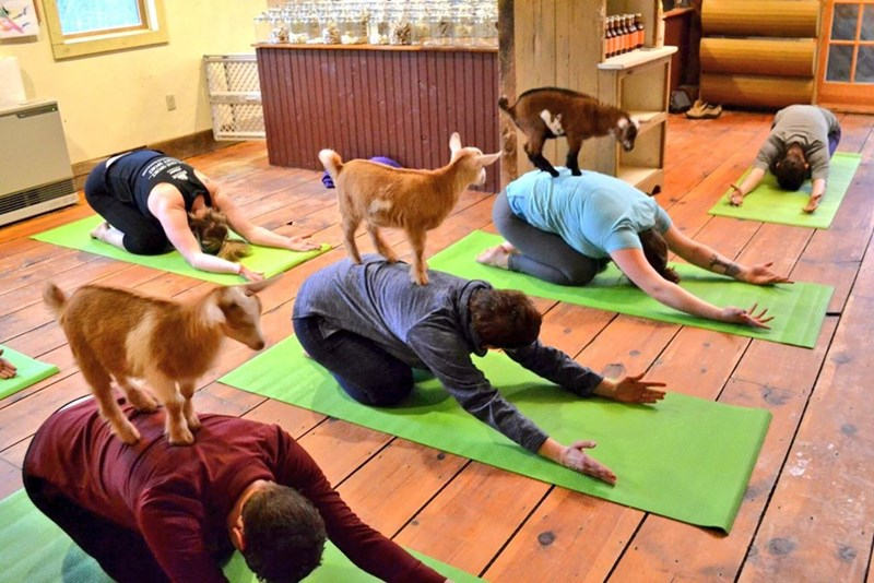Group of people doing yoga with baby goats climbing on their backs.