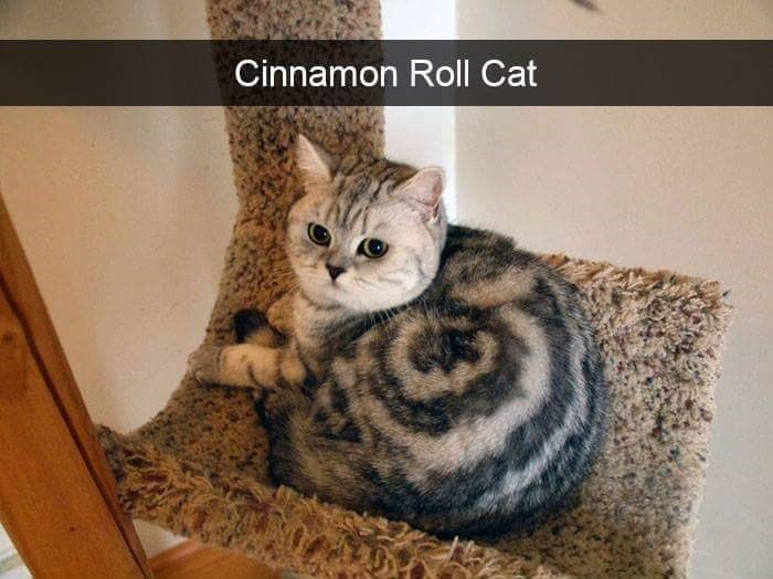 Cat that seriously looks like a cinnamon roll.