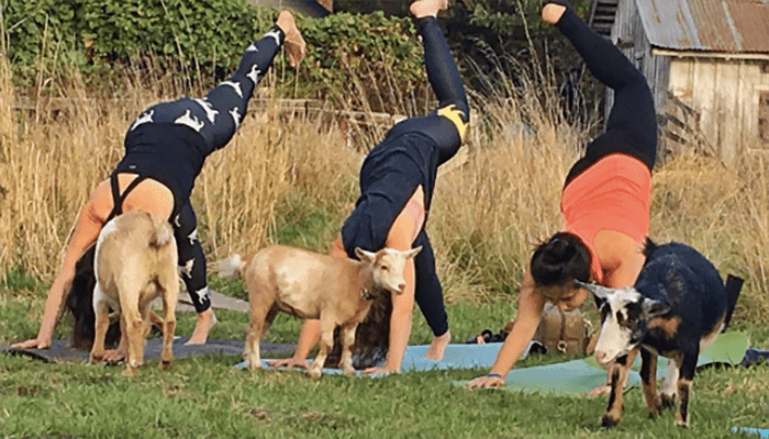 People doing handstands and yoga with goats around.