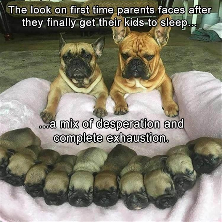 Pug parents with all their pugs sleeping.