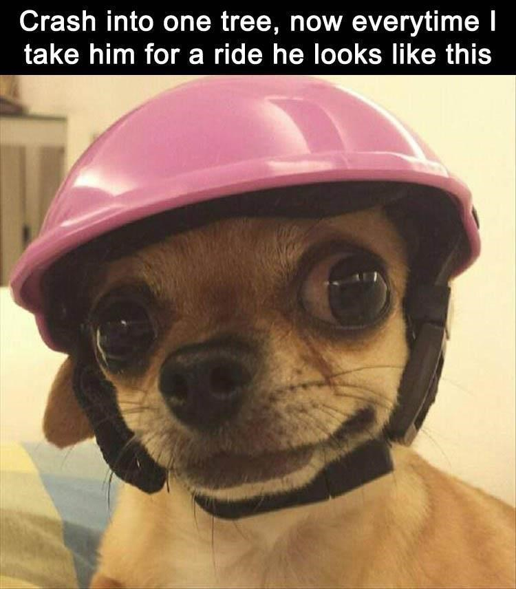 cute chihuahua dog with pink helmet.