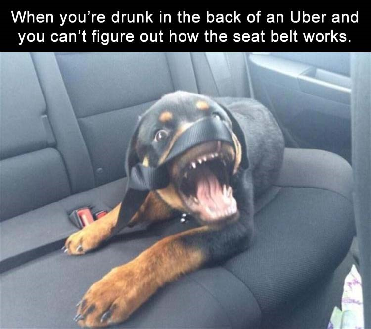 dog in the backseat of a car to show how it feels when you are drunk in an uber and cant get the seat belt to work