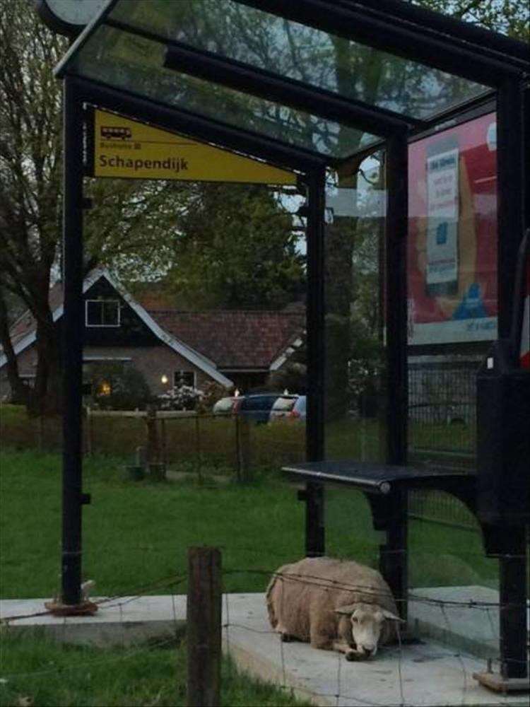 Goat sleeping in a bus stop