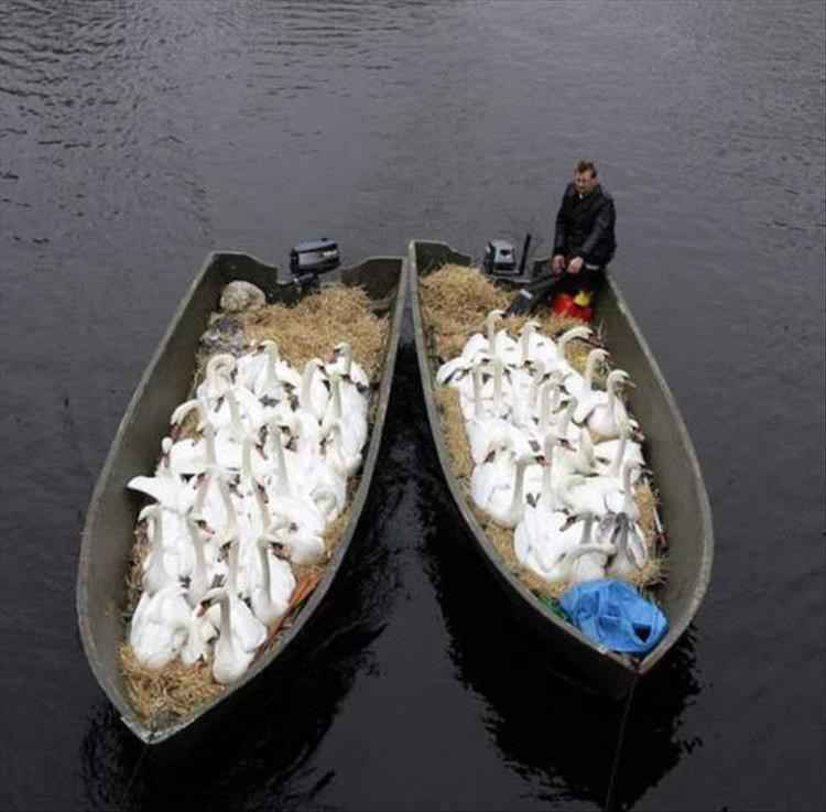 2 boats worth of geese.