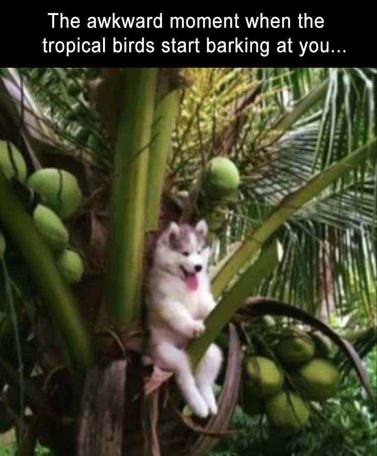 Dog sitting up in a coconut tree with his tongue out, probably panting loudly.