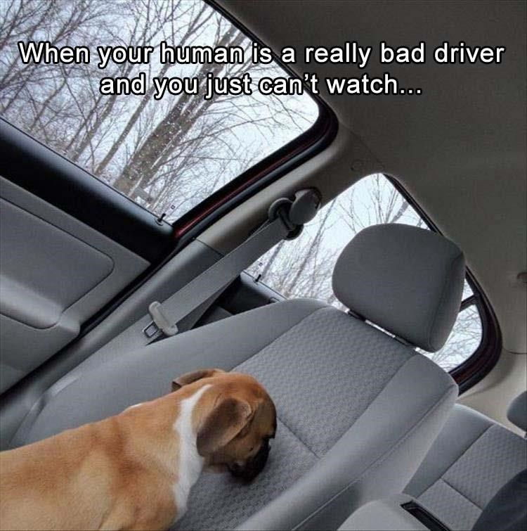 Dog planting his face in the passenger seat because human is just such a bad driver.