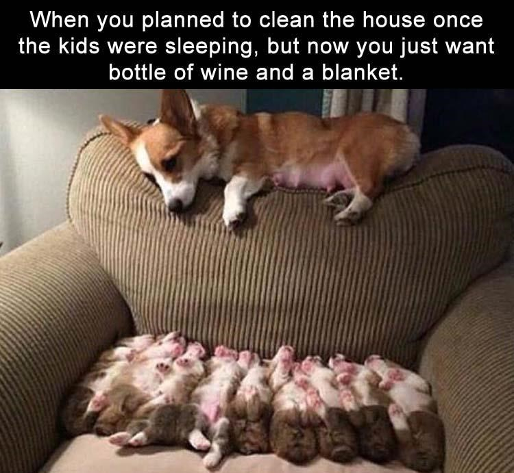Corgi staring at her little babies as that feeling after you put the kids to be and now just want some wine and relaxing.