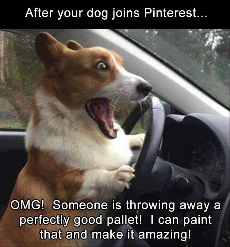 Surprised driving Corgi dog on Pinterest sees a pallet and wants it to make something amazing.