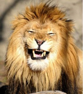Lion about to sneeze