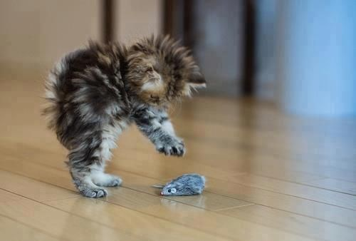spiky little kitten playing with a toy mouse