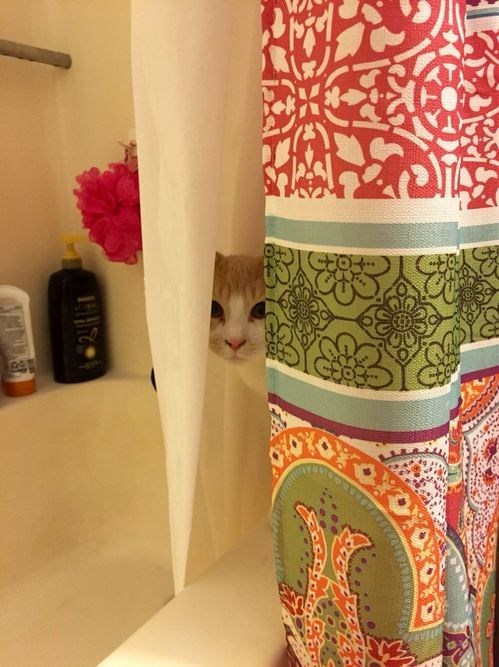 cat hiding behind the shower curtains.