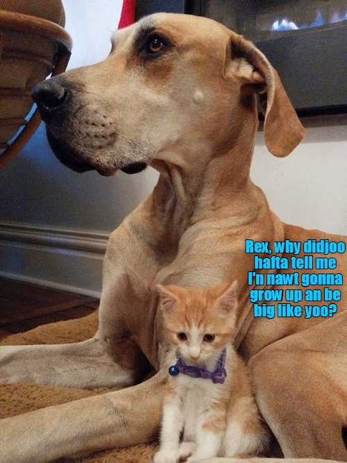 a cute meme of a small kitten being told that they aren't going to big like their huge great dane dog. and kitten looks very sad