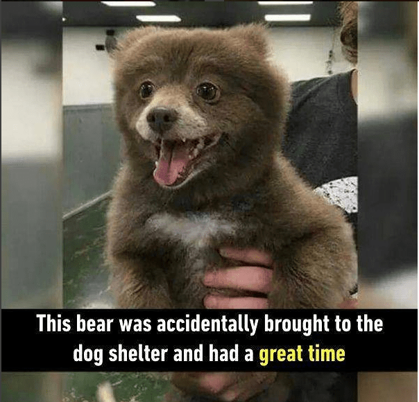 a funny picture of a cub bear that have a huge smile on its face being held up but police saying that the cub was accidentally brought to dog shelter but seemed to have a great time