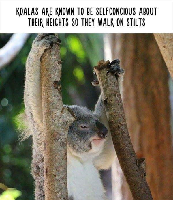 Koala - KOALAS ARE KNOWN TO BE SELFCONCIOUS ABOUT THEIR HEIGHTS SO THEY WALK ON STILTS