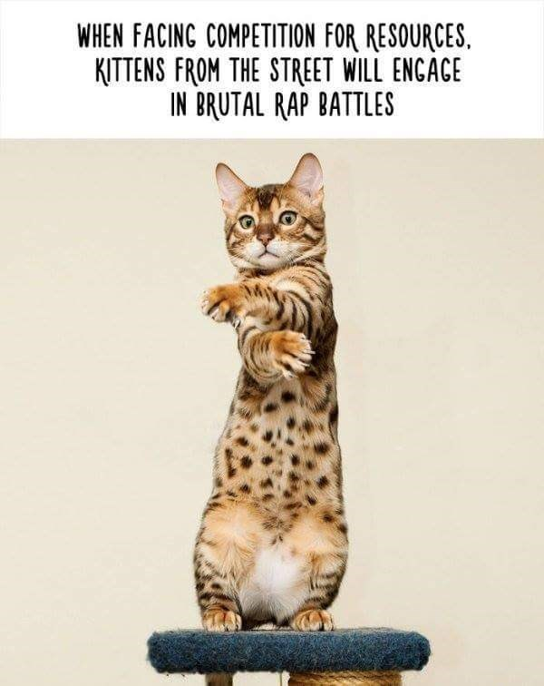 Cat - WHEN FACINC COMPETITION FOR RESOURCES KITTENS FROM THE STREET WILL ENCACE IN BRUTAL RAP BATTLES