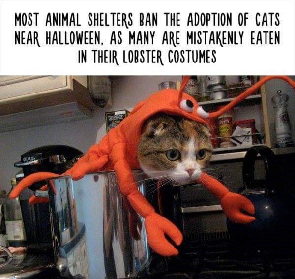 Cat - MOST ANIMAL SHELTERS BAN THE ADOPTION OF CATS NEAR HALLOWEEN, AS MANY ARE MISTAKENLY EATEN IN THEIR LOBSTER COSTUMES EPEN Gare wde KURAG
