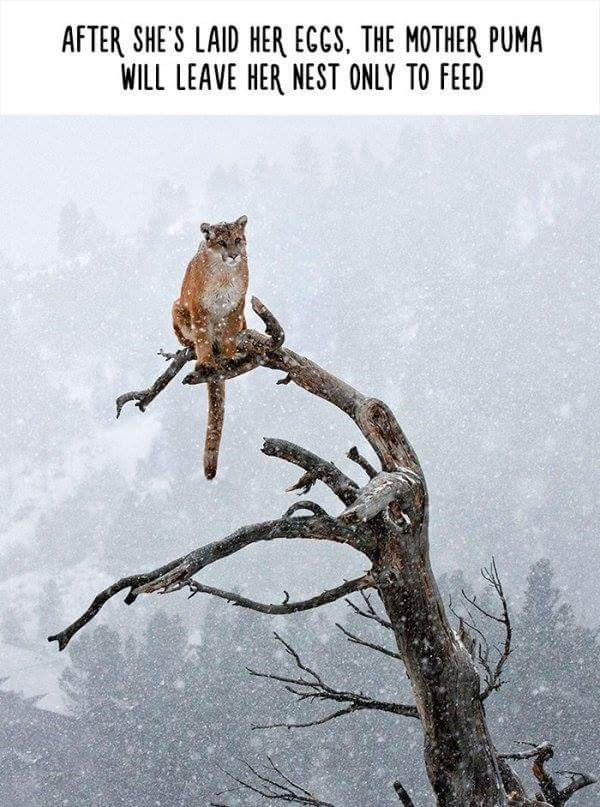 Adaptation - AFTER SHE'S LAID HER ECCS, THE MOTHER PUMA WILL LEAVE HER NEST ONLY TO FEED