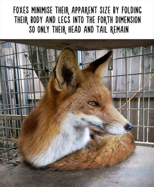 Mammal - FOXES MINIMISE THEIR APPARENT SIZE BY FOLDINC THEIR BODY AND LECS INTO THE FORTH DIMENSION SO ONLY THEIR HEAD AND TAIL REMAIN